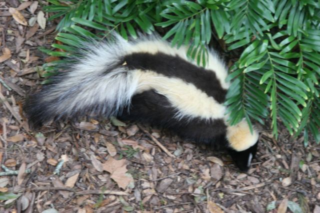 striped_skunk_florida