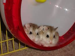 2 hamsters in wheel
