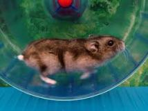 Hamster in blue wheel